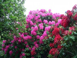 Growing Rhododendrons