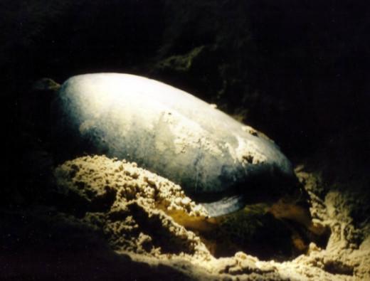 "Turtle Laying Eggs on Selingan ""Turtle"" Island"