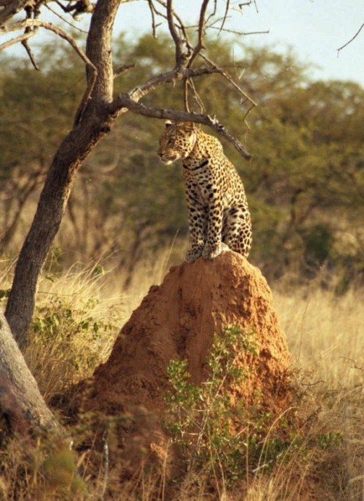 leopard at Africat, Namibia