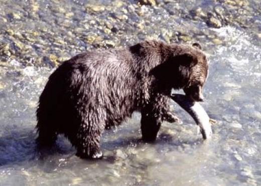 A Bear on Vancouver Island
