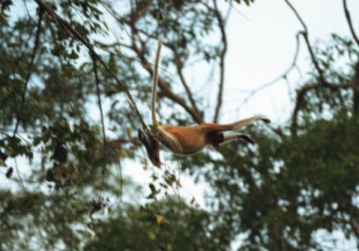 Monkey Flying Through the Jungle (Borneo)