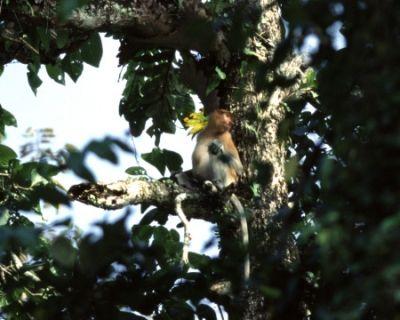 A Female Proboscis Monkey