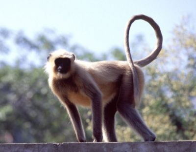 Picture of a Black Faced Monkey in Rajasthan, India