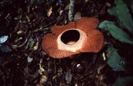 Rafflesia: The biggest Flower in the world!