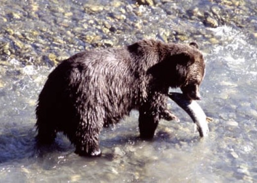 Grizzly Bear Catching Salmon in Canada