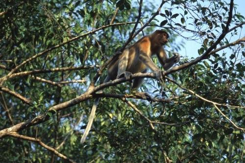 Proboscis Monkey, Borneo, Malaysia