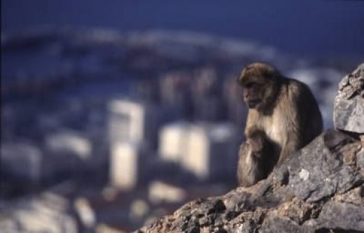 Barbary Ape on The Rock of Gibraltar