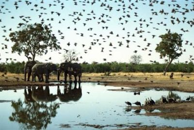 More Elephants and Birds at a Waterhole in Botswana