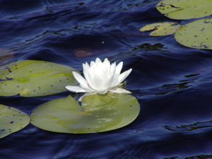 Cape Cod Water Lily