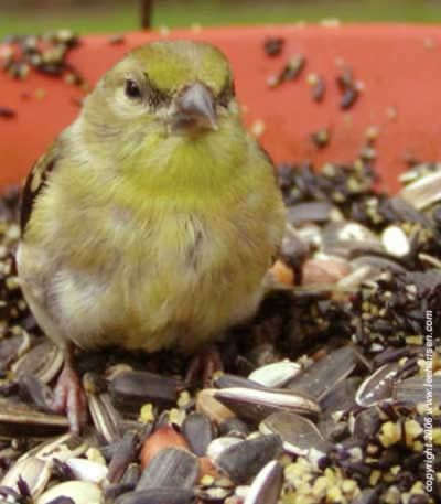 Yellow gold finch poses for camera