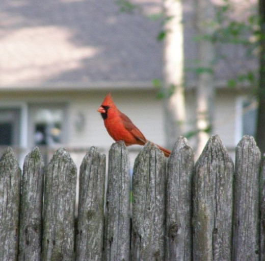 A shy cardinal on the fence near my driveway