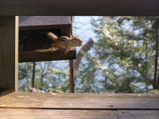 Chipmunk leaping from bird feeder with cheeks stuffed full of bird seed.
