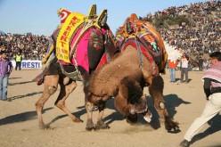 Camel Wrestling Festival - An Ancient Festival