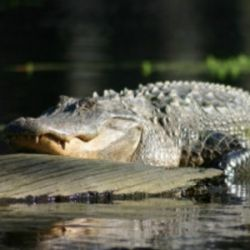 Alligator in Merchant's Millpond State Park
