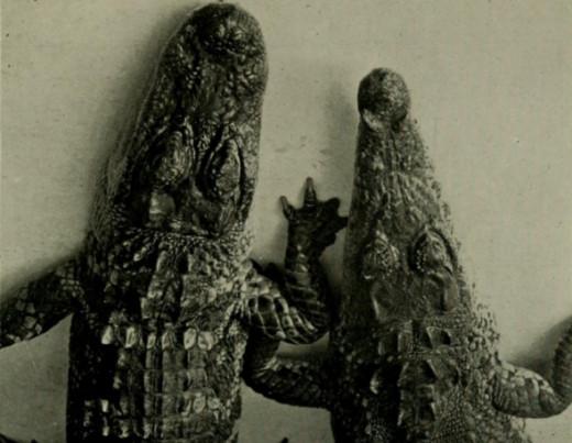 American alligator and crocodile