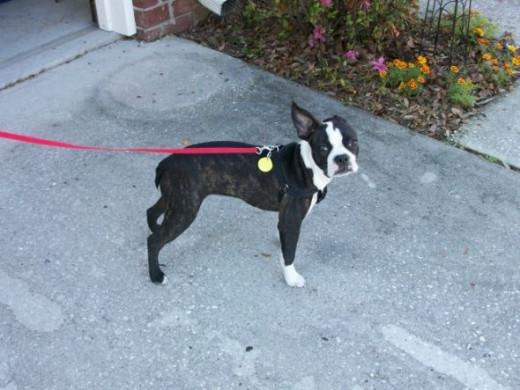 Abbie the Boston Terrier