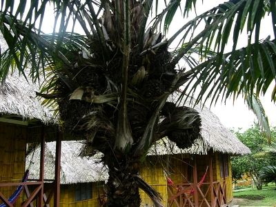 The Tagua Palm Tree