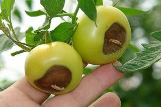 Blossom End Rot is a problem for container grown tomatoes!