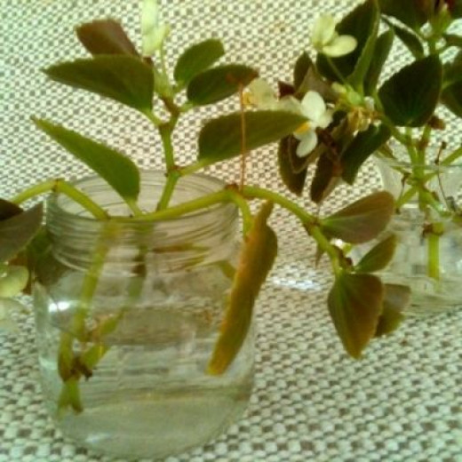 The most common way to root a begonia cutting~~in a small container of water!