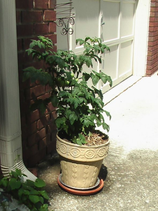 This patio tomato keeps getting more little globes of green. See the closeup photos below.