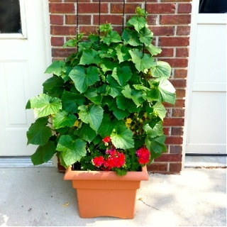 Yes, Cucumbers can grow in a pot!