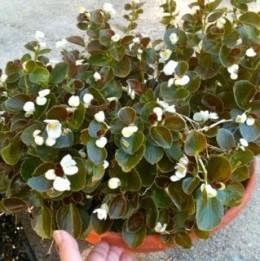 Original planter of begonias--begonias are great to grow inside, too.