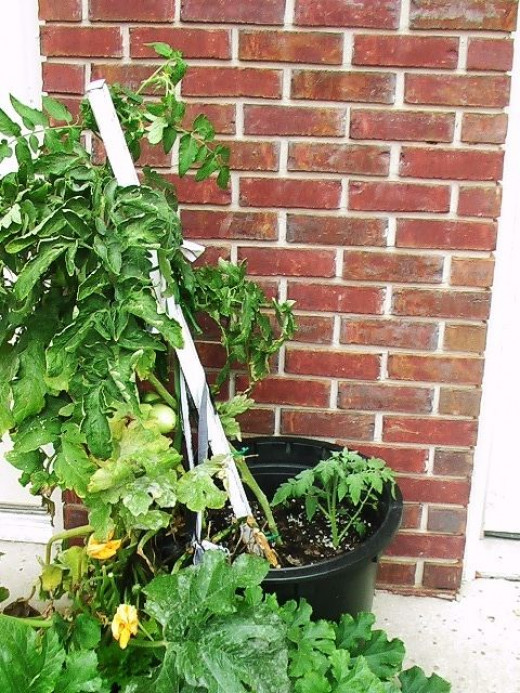 How NOT to stake a tomato plant!