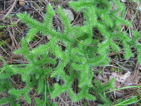 This is wolf moss.