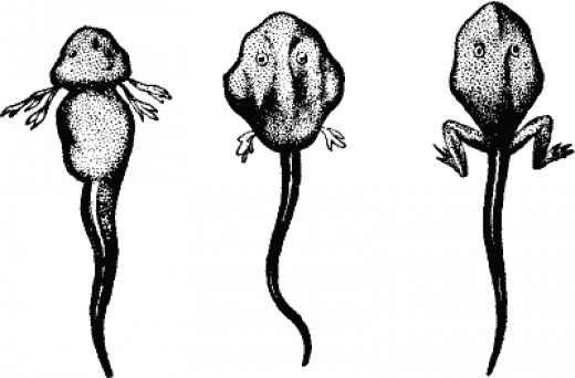 Tadpoles grow into Frogs